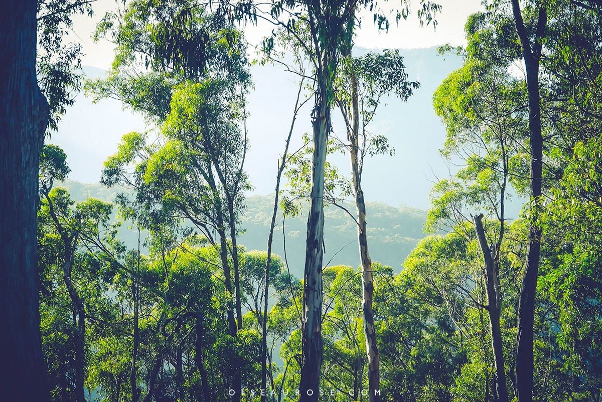Blue-Mountains-Australie-vegetation
