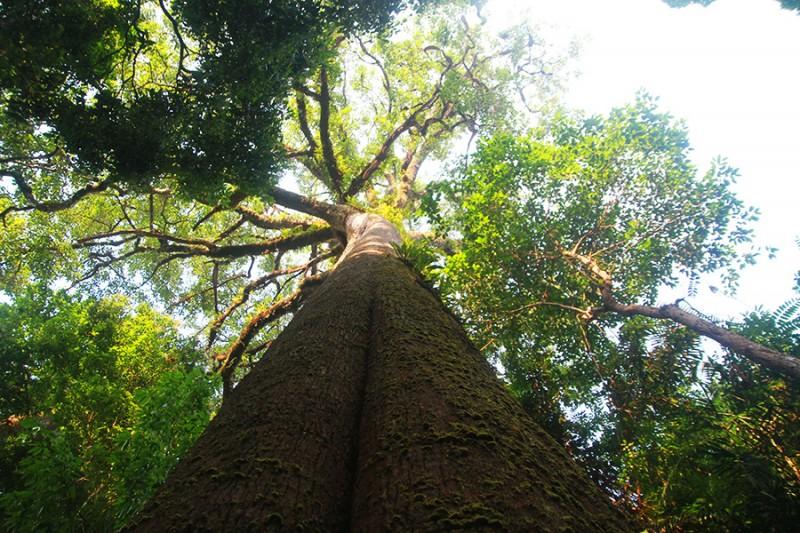 Voici l'arbre le plus gros du Laos !