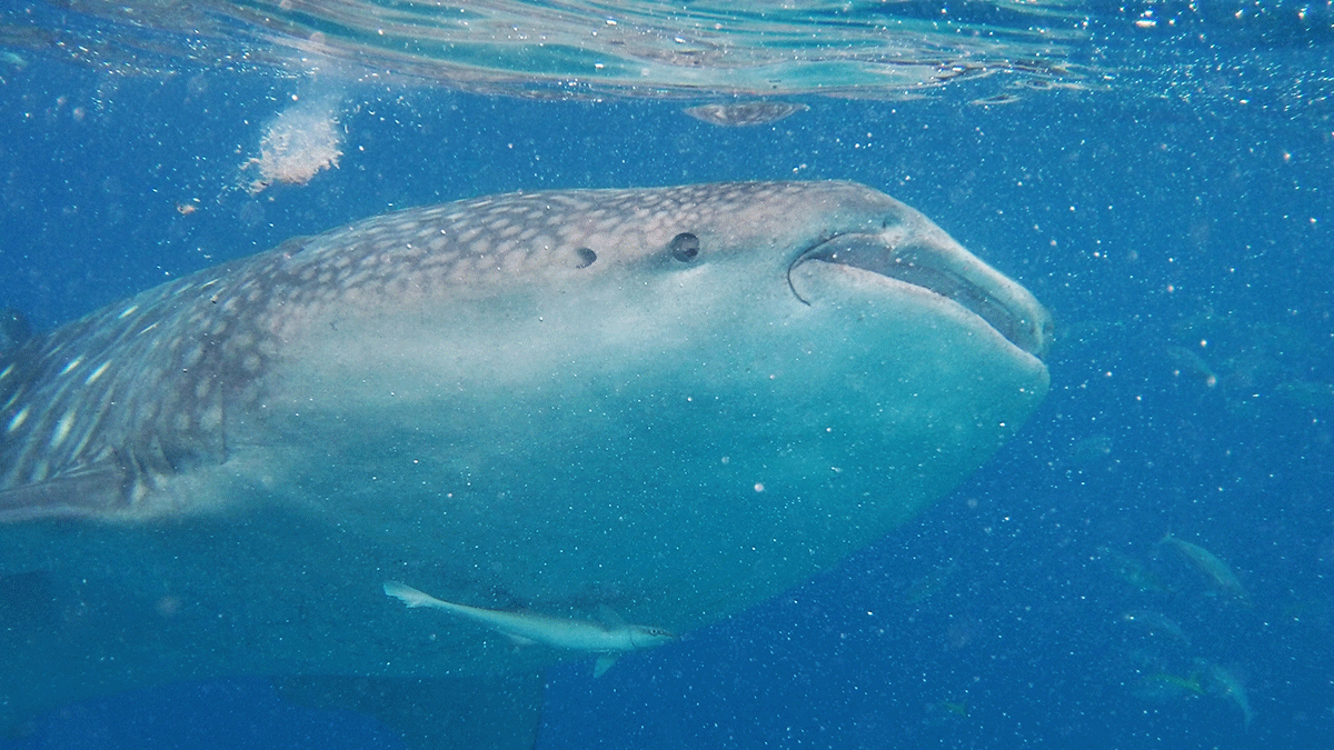 Requins-baleines-8