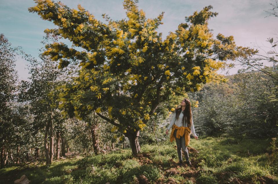 Une randonnée dans les mimosas, en plein hiver sur la Côte d'Azur