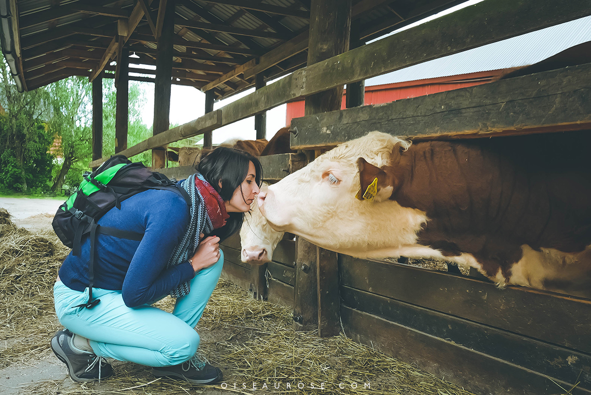 finlande-ferme-vache