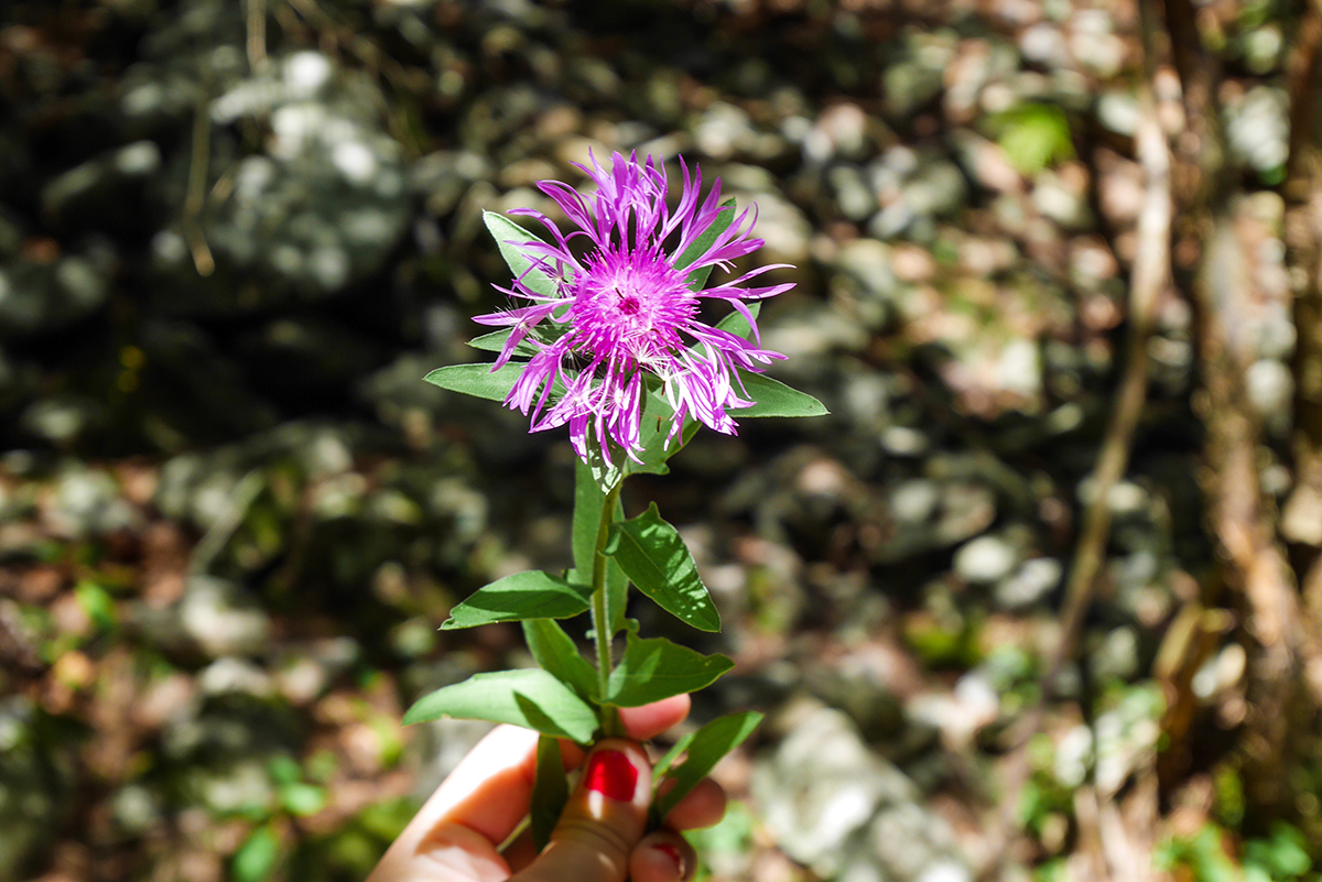 fleur-mercantour