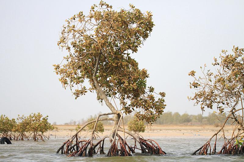 mangrove-senegal