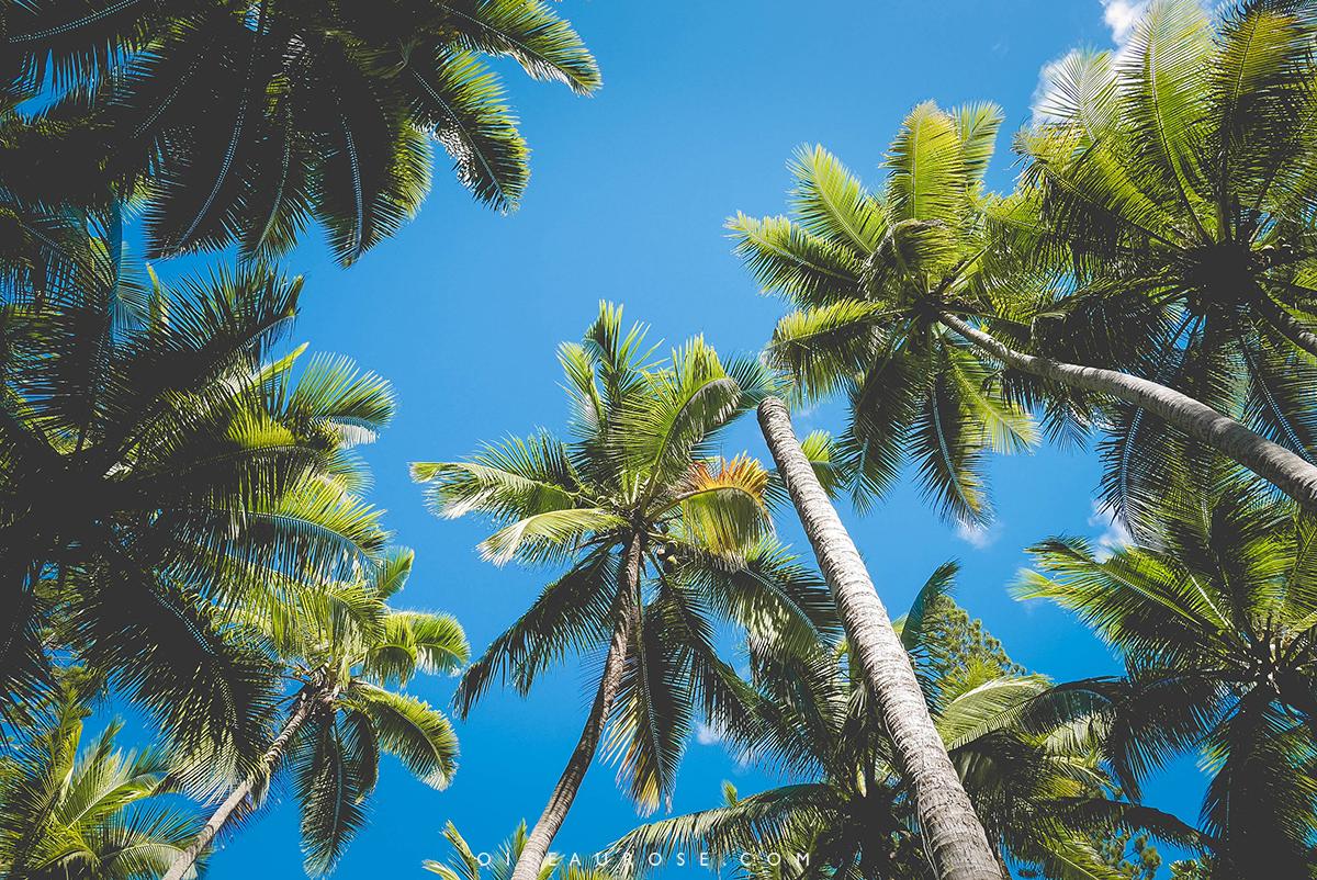 palmier-ile-pins