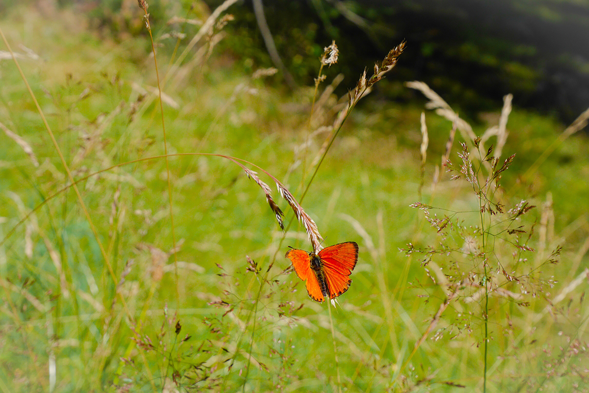 papillon-mercantour
