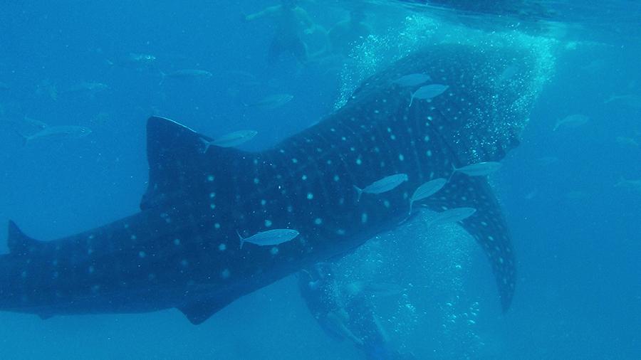 requin-baleine-OSBOL