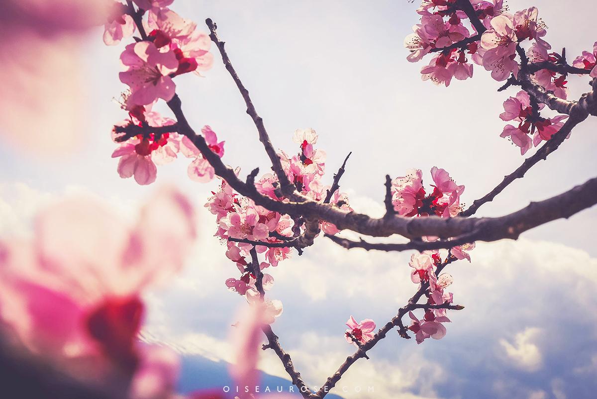 sakuras-japon