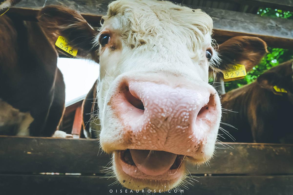 vache-finlande
