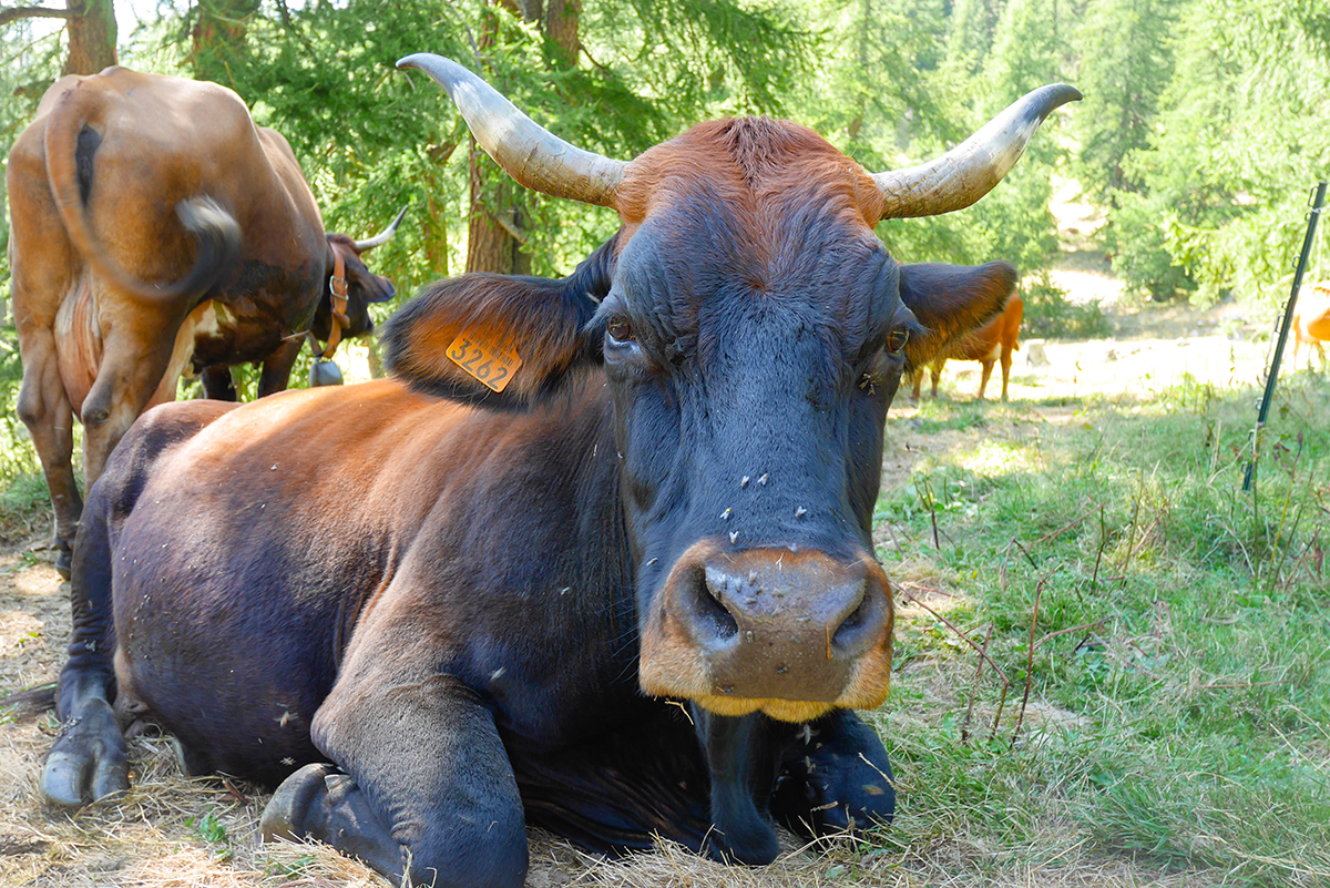 vache-mercantour